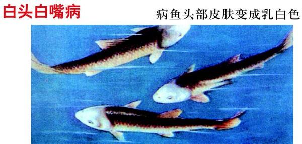 四大家鱼是哪四种_四大家鱼常见病_四大家鱼最怕什么病