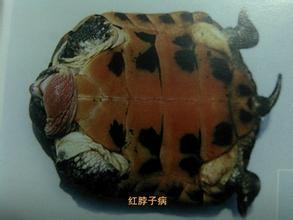 龟病治疗大全_红脖子病 龟_怎么治疗龟的歪脖子病