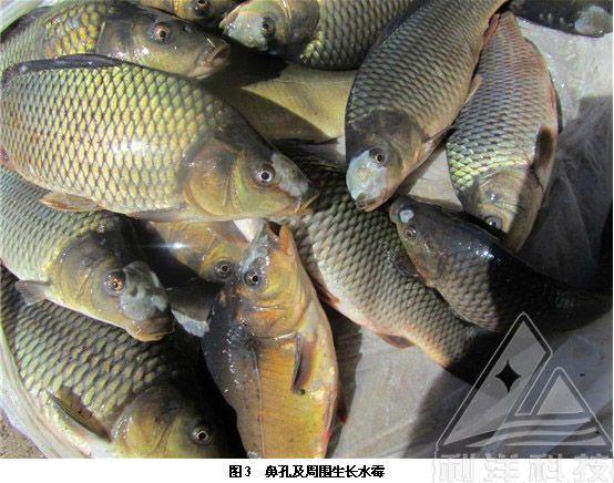 草鱼不吃料什么原因_什么鱼不吃饲料_吃饲料的鱼能不能吃