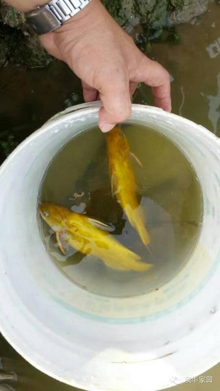 黄颡鱼网箱养殖视頻_黄颡鱼养殖难点_黄颡鱼养殖密度