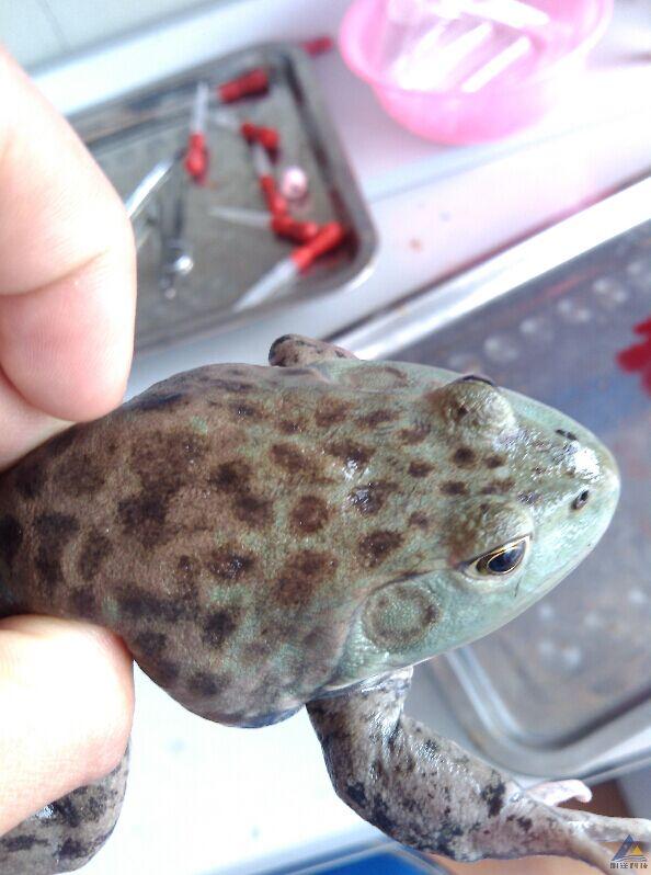 疑似链球菌感染早期的牛蛙解剖图及病因分析