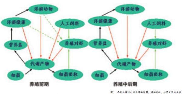 中国水产科学研究院南海水产研究所&nbsp杨铿&nbsp &nbsp &nbsp 广州市欣海利生生物科技有限公司&nbsp洪敏娜&nbsp徐创文/文   对虾养殖业是我国水产养殖业的重要产业。随着养殖面积、密度和产量不断地增加,对养殖管理技术的要求也越来越高。对虾养殖管理是一项系统的生态调控工程,了解池塘中的生物结构及其影响,对养殖生产管理有重要的意义。   一、对虾养殖池塘的主要生物构成   对虾池塘的主要生物结构有对虾、浮游微藻、浮游动物、细菌。对虾作为养殖对象,浮游植物和浮游动物及细菌作为转化者