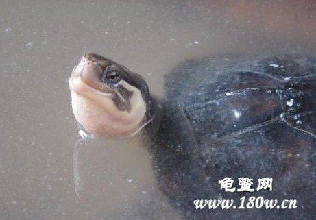 南石龟杂火焰龟图_石龟年龄图片详解_南种北种石金钱龟
