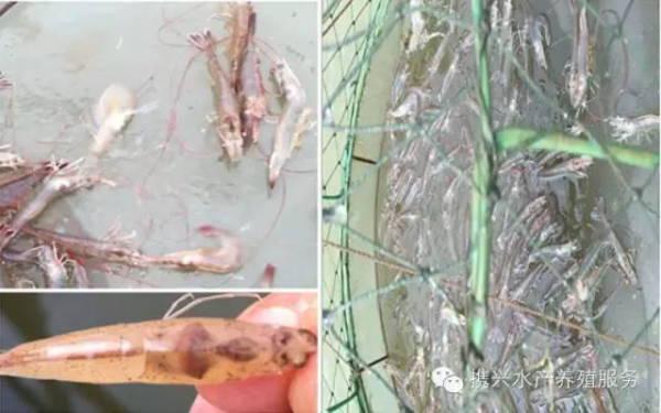 泥鳅苗爆发性死亡主要原因_泥鳅苗期死亡率最高的病害_网箱养泥鳅怎么养