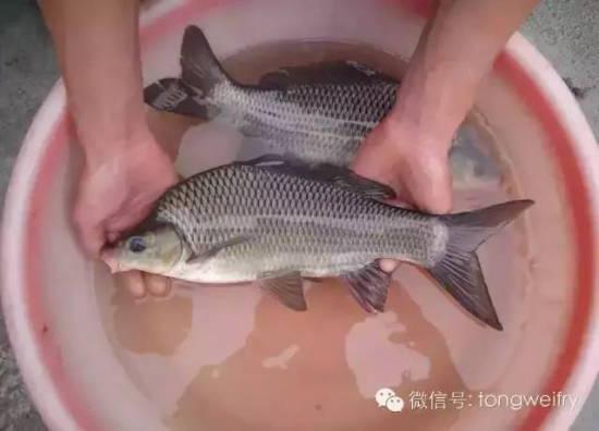 池塘动态鲤鱼 壁纸