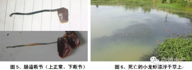 淡水小龙虾细菌性疾病防治方法