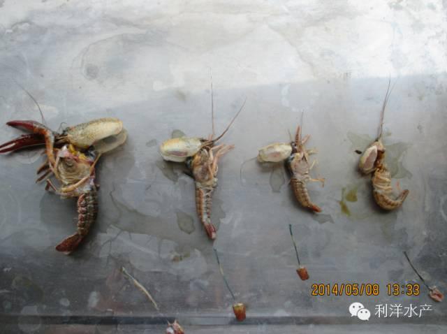 池塘增氧设施跟不上使得小龙虾河蟹