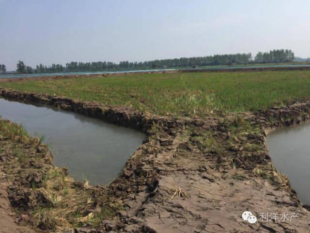 稻田养殖小龙虾早期管理技术