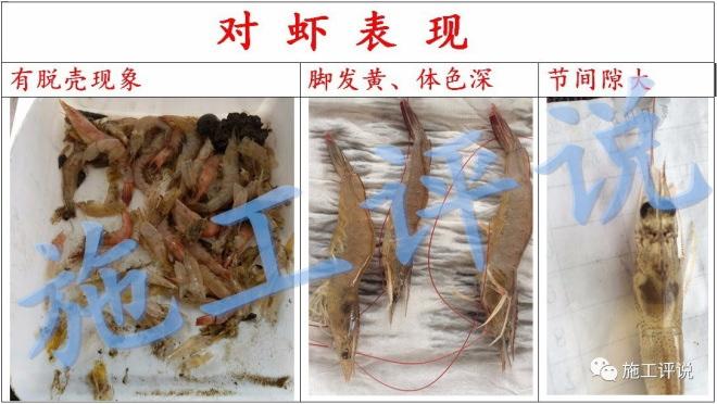 对虾杀纤毛虫要注意什么_对虾纤毛虫图片_对虾纤毛虫病