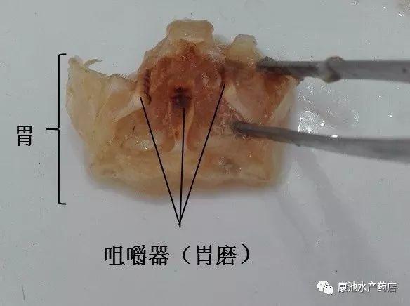 (图8.河蟹的胃解剖图)-图文结合,带你全面认识河蟹的形态结构