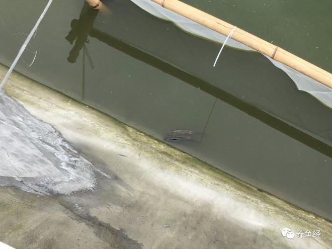 泥鳅孵化中的水霉处理方法
