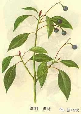 七,樟树叶图片
