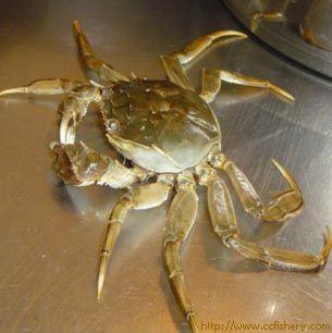 在动物分类上隶属于节肢动物门,甲壳纲,十足目,爬行亚目,短尾族,方蟹