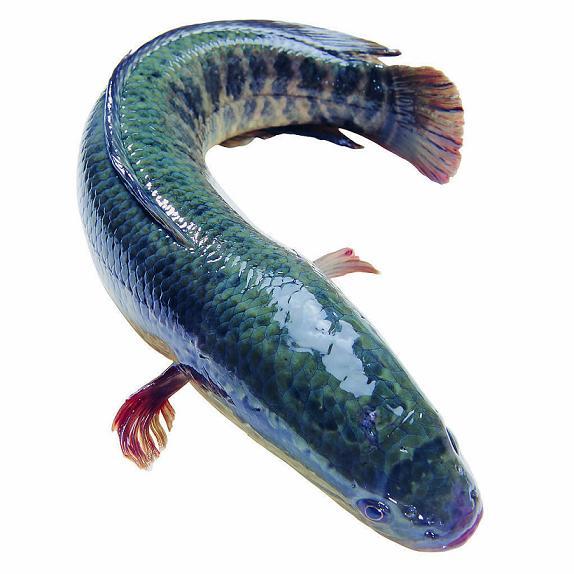 养黑鱼风险 [致富经黑鱼]朱正伟:养黑鱼每年多赚50万的秘密