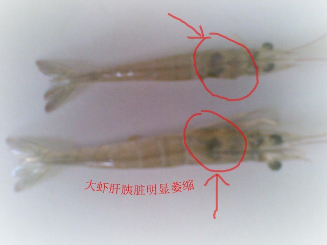 最近发病的南美白对虾塘比较多,通过这几天的走访,发现很多都是虾病的比较严重的时候养殖户才发现,这时不是为时已晚,就是已经错过最&nbsp佳时机,就算救的回来也是损失很大了。所以跟大家分享一下虾发病时的基本征兆。   1.对虾的活力和游泳能力减弱:健康的南美白对虾通常栖息于养殖水体的中下层或底部,一般不易看见;有时在水边看到一些虾群,但运动活泼,游泳迅速,弹跳力强。而病虾活动能力弱,游泳缓慢,在人为刺激时,反应迟钝,不逃避,有的在水面上打转或无定向地上下游动;有的匍匐或侧卧池边浅水处。