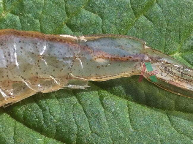 南美白对虾弧菌多久做一次_南美白对虾池塘养殖技术_南美白对虾弧菌症状
