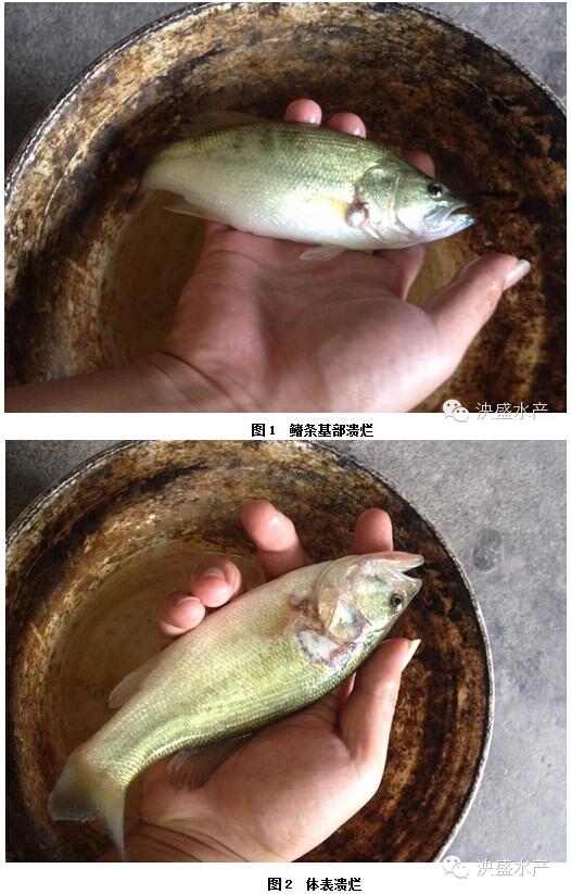 鲈鱼为什么会得诺卡氏_加州鲈虹彩病毒_杀虫对加州鲈影响