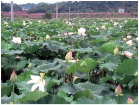 稻田泥鳅养殖田怎么做了_三亩田能养多少泥鳅_一亩田可以养多少泥鳅和鳝鱼