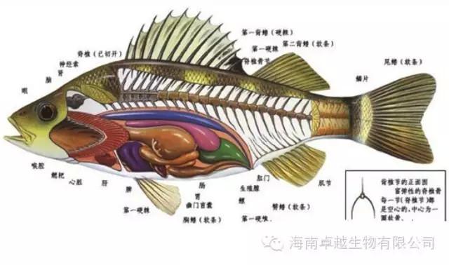 【病因】 由鲺(小型甲壳类水中害虫)寄生于鱼的体表和口腔引起的鱼病。虫体略呈椭圆形或圆形,体色透明,把鱼拿出来对着阳光可以肉眼看到。主要危害青、草、鲢、鳙、鲤、鲫、鳊鱼等鱼类的幼鱼和鱼种,流行于4~10月份。老化池塘、清塘不彻底、水质底质恶化的鱼塘易发生此病。 【症状】 鱼鲺在鱼体上爬行叮咬,以其口刺刺伤鱼体表组织,吸其鱼的血液和体液,使鱼急躁不安,在水中狂游或跃出水面,摄食减退、消瘦,急游或擦壁,造成许多伤口,使组织溃烂,常引起鱼种死亡。 【防控】 预防:重在预防,尤其是清塘必须彻底。 寄生虫疾病的防治