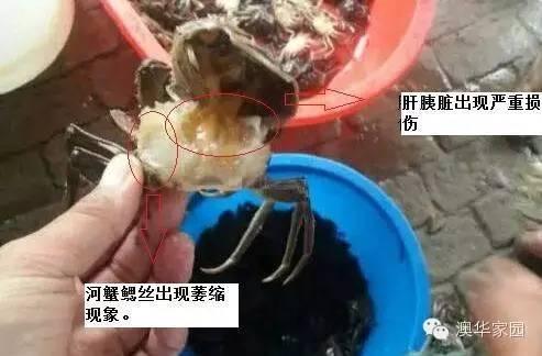 """蒜皮季节高温""""水瘪子""""发霉工作大河蟹预防还能吃吗图片"""