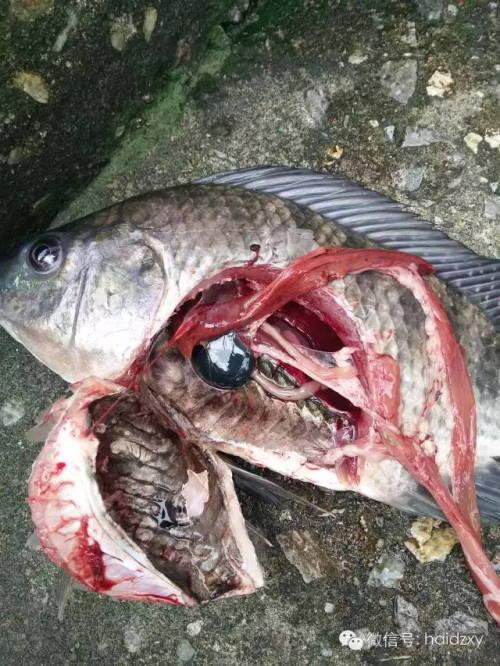 关于水库罗非鱼案例链球菌v水库高温篇尖脸沙皮狗图片