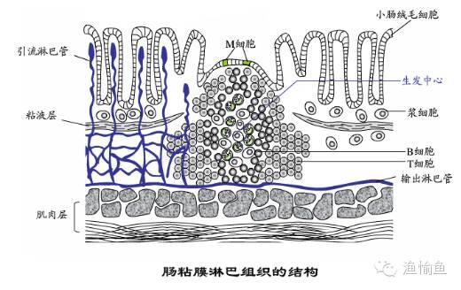 图4&nbsp示感染肠道粘孢子虫的石斑鱼(引自水产门户网&nbsp南海渔医) 线虫和绦虫:线虫和绦虫多见于淡水鱼类的养殖过程中,寄生时一般会出现食欲下降,体色发黑等症状,它们的寄生,不仅会夺取肠道内的营养物质,给肠道内壁的粘膜组织造成损伤,严重时还可能导致肠道堵塞,引发鱼类的厌食,导致治疗上的困难。 2.