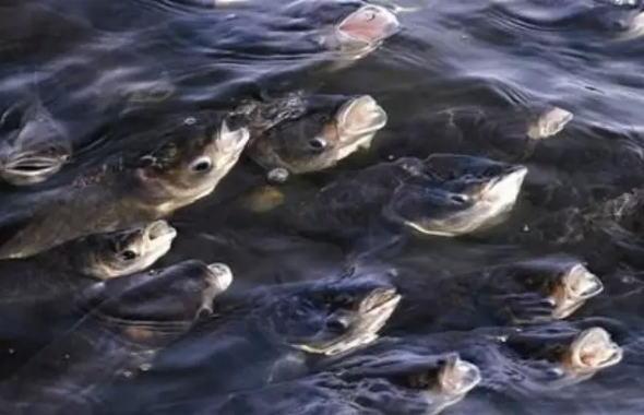 锦鲤浮头但是不缺氧_怎么判断鱼塘缺氧_鲤鱼浮头是缺氧吗