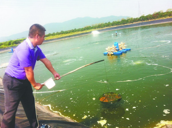 以下内容仅供参考,请根据实际情况判断 一、池塘的准备 (一)池塘的建设 养殖池塘的建设并没有严格的要求,普通的养鱼池塘经过改造均可以作为养虾池塘,为了高产、稳产,养虾池塘有一些基本的要求,满足基本要求后即可作为养虾池塘进行养殖,基本要求如下: (1)养殖池塘面积大小均可,小池塘可以作为高密度精养池,也可以建设成高位池、铺设地膜,大池塘可以做粗养或者混养。 (2)高密度精养塘的池塘的坡度比为2:1为佳。对虾是底栖生物,人工养殖时在岸边较浅的区域设置投饵区域,所以,平缓的坡度能为对虾提供足够的摄食和活动场所,