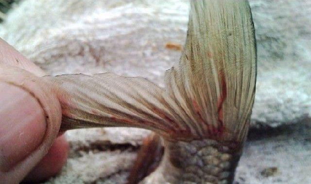 鱼类寄生虫病害防治的困扰和思考