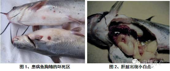 斑点叉尾鮰_长吻鮠和斑点叉尾鮰_斑点叉尾鮰鱼