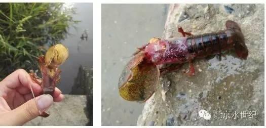 小龙虾蜕壳不遂,养殖户要及时注意补钙