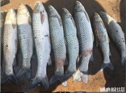 常见鱼病图片_淡水鱼病诊断与防治_草鱼为什么晚上吃草