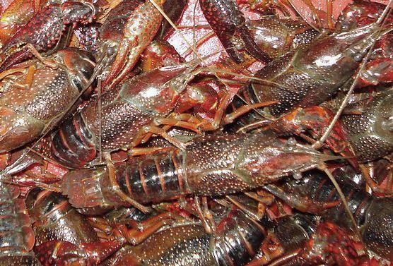 小龙虾是杂食性
