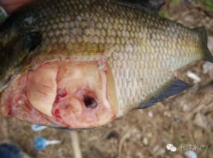 怎么养鱼,鱼塘水发黑_要想提高太阳鱼的养殖成功率,一定要关注四个中后期养殖要害点