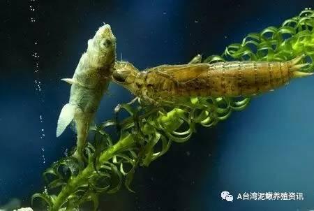 一种杀灭鱼苗池水生节肢动物虫害的实用方法