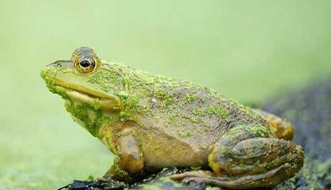 牛蛙解剖手绘图
