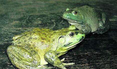 牛蛙解剖舌头手绘图