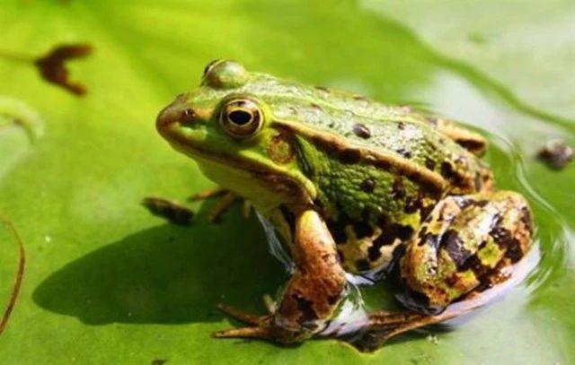 龙虾和青蛙能一起养吗_青蛙小龙虾套养_小龙虾与青蛙混养