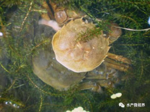 螃蟹最多能几天不吃食_螃蟹脱壳为什么不吃食_螃蟹食量低