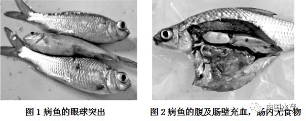 鱼病知识 | 淡水鱼细菌性败血症