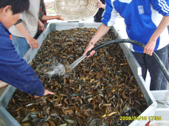 回收泥鳅成品鱼_泥鳅价格_中国水产养殖网