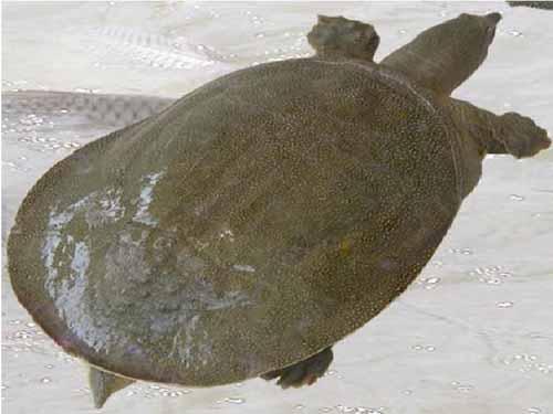 [供方]常年供应野生甲鱼图片