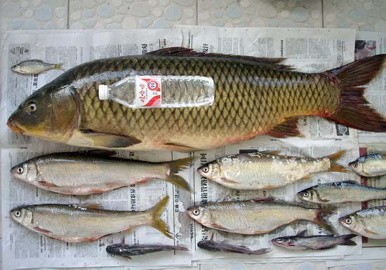 一斤半以上鲤鱼_鲤鱼价格