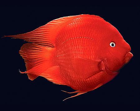 热带观赏鱼血鹦鹉鱼,原色鹦鹉鱼_血鹦鹉价格_