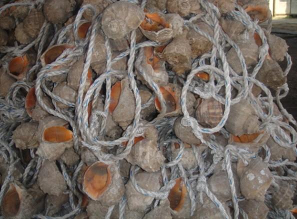 [供方]海螺壳图片