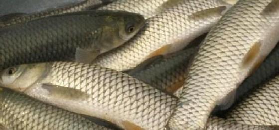 黄河鱼种类图片名称-洪湖草鱼 汇集饲料原料 大豆 豆粕 豆油 玉米 鱼粉