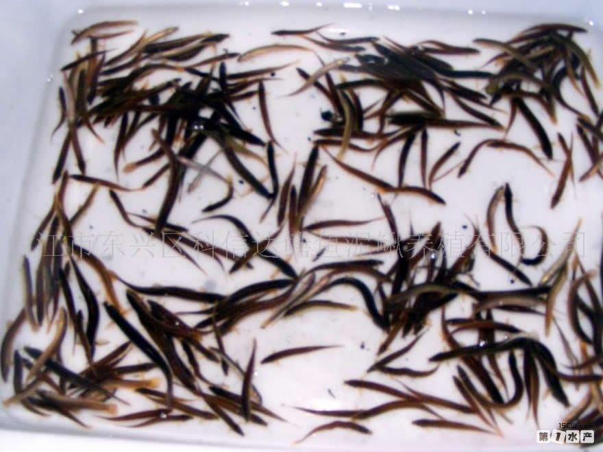 出售东北地区优质鱼苗v鱼苗薪酬步骤_水平方法泥鳅泥鳅苗种的基本人工和职位图片