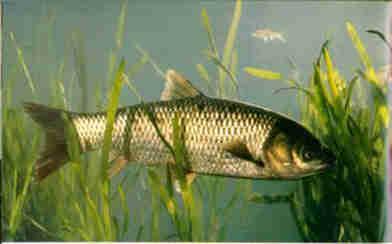 鲤鱼和草鱼的区别_草鱼喂什么饲料长得快_草鱼饲料配方