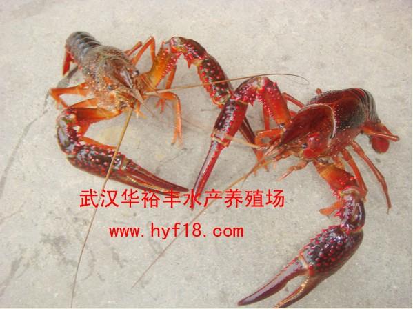 淡水大龙虾图片图片3