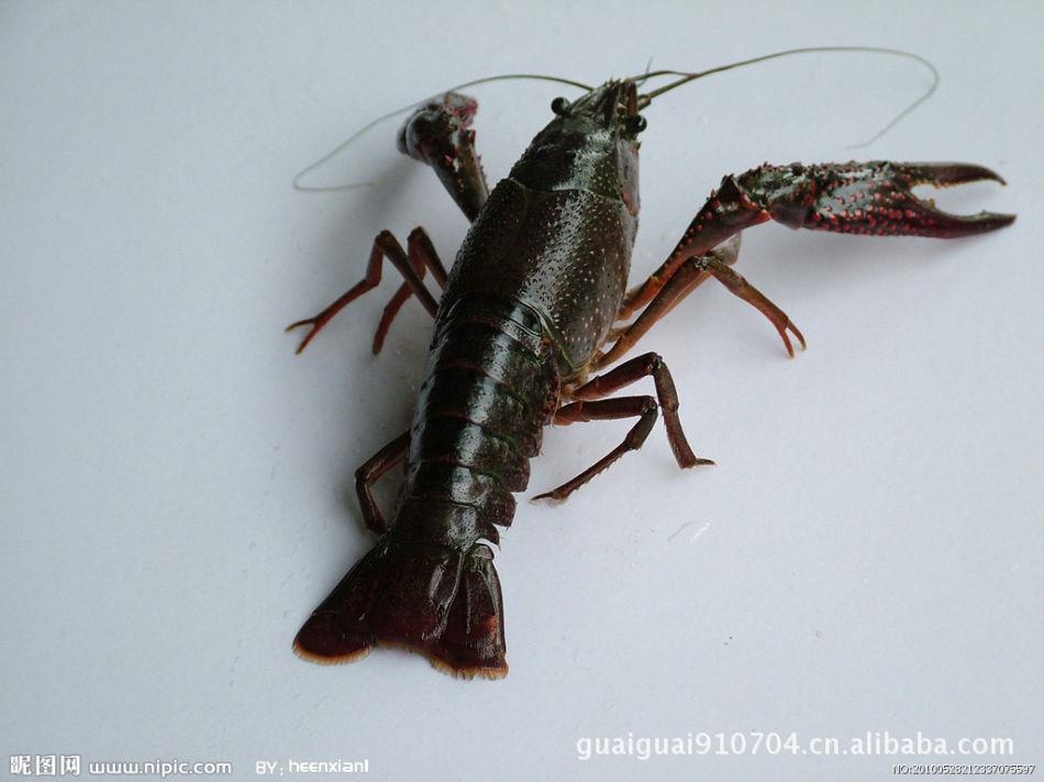 出售澳洲淡水龙虾_小龙虾价格